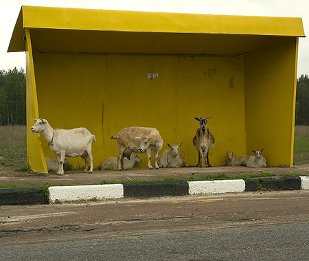 cabras no ponto de onibus
