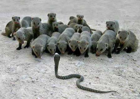 cuidado com a cobra
